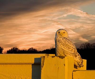 Snowy Owl Sundown Print by Randall Branham