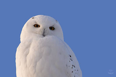 Snowy Owl - The Look Print by Jestephotography Ltd
