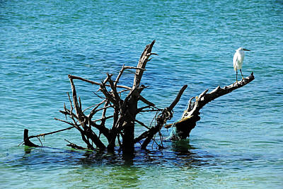 Snowy Perched On Driftwood Print by Debbie Oppermann