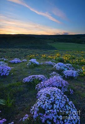 Phlox Photograph - Snowy Phlox Sunset by Mike Dawson