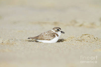 Nature Photograph - Snowy Plover In The Sand by Ruth Jolly