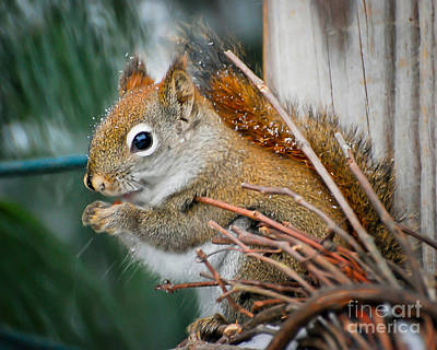 Squirrel Photograph - Snowy Squirrel by Kerri Farley
