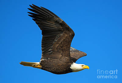 American Bald Eagle Photograph - Soar by Mike Dawson