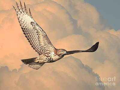 Bif Photograph - Soaring Hawk by Wingsdomain Art and Photography