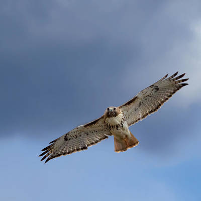 Red Tail Hawk Photograph - Soaring Red Tail Square by Bill Wakeley