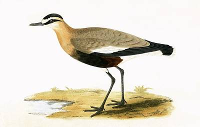 Plovers Painting - Social Plover by English School