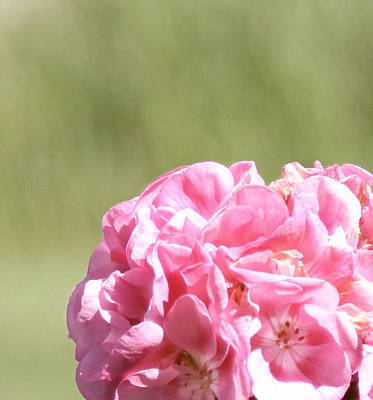 Floral Photograph - Light Pink Geranium by Inspired Arts