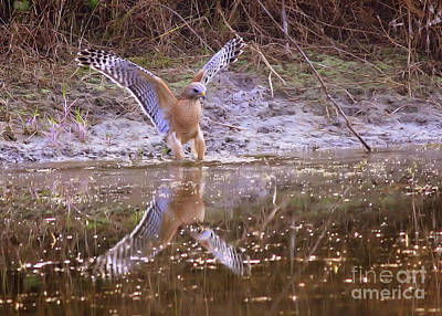 Hawk Photograph - Soft Landing On The Pond by Carol Groenen
