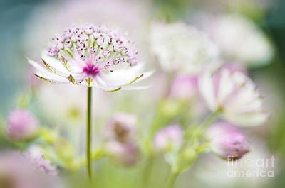 Astrantia Photograph - Soft On Astrantia by Jacky Parker
