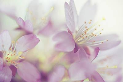 Soft Pastels Of Sakura Blossom Print by Jenny Rainbow