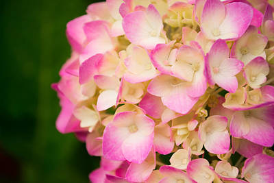 Annabelle Photograph - Soft Pinks by Parker Cunningham