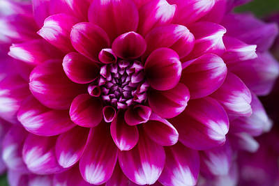 Soft Touch Dahlia Print by Mary Jo Allen