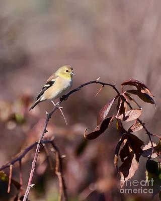 Goldfinch Photograph - Soft Yellow - Female American Goldfinch by Kerri Farley