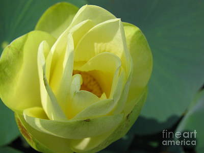 Floral Photograph - Softly  by Amanda Barcon