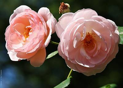 Photograph - Softly Pink by Al Fritz