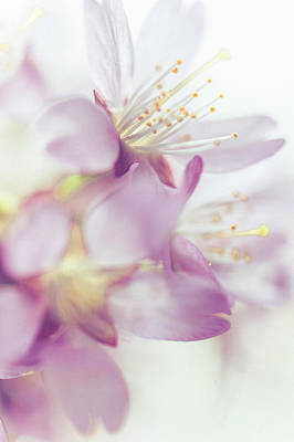 Softly Spoken. Spring Sakura Blossom Print by Jenny Rainbow