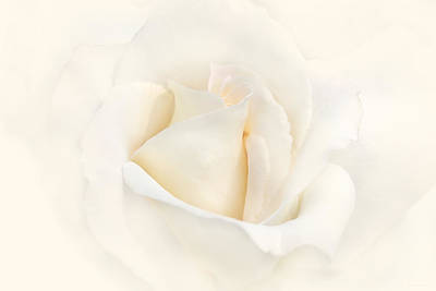 Ivory Rose Photograph - Softness Of An Ivory Rose Flower by Jennie Marie Schell