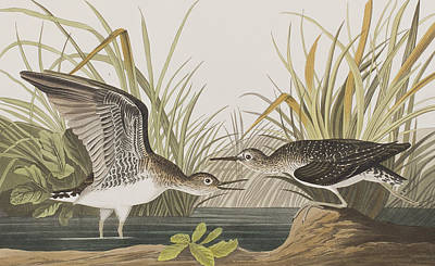 Edge Drawing - Solitary Sandpiper by John James Audubon