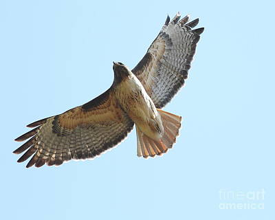 Somewhere In The Sky A Red Tailed Hawk Soars Print by Wingsdomain Art and Photography
