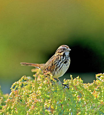 Sparrow Digital Art - Song Sparrow by Betty LaRue
