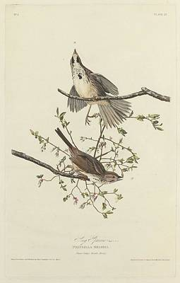 Sparrow Drawing - Song Sparrow by John James Audubon