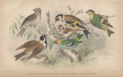 Siskin Drawing - Songbirds by Oliver Goldsmith