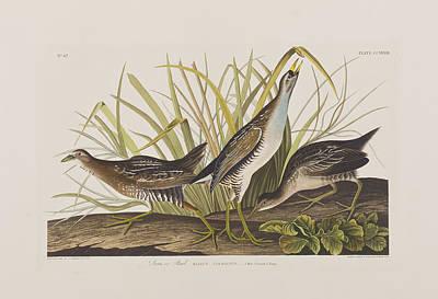 Sora Or Rail Print by John James Audubon