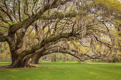 South Carolina Live Oaks At Charleston's Magnolia Plantation Gardens Print by Bill Swindaman