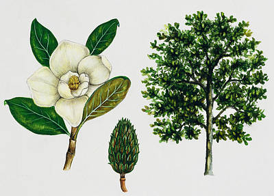 Southern Drawing - Southern Magnolia Or Bull Bay  by Unknown