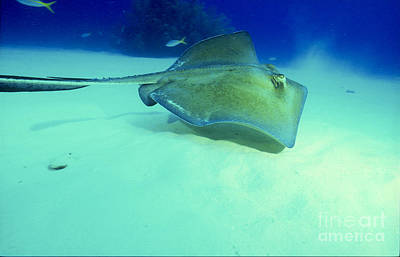 Southern Sting Ray Print by Gregory Ochocki and Photo Researchers
