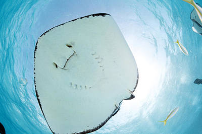 Undersea Photograph - Southern Stingray by Michele Westmorland