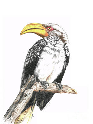 Hornbill Drawing - Southern Yellow Billed Hornbill by Cindy Skidgel