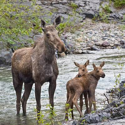 Photograph - Sow Moose And Calves At Waterton by Richard Wear