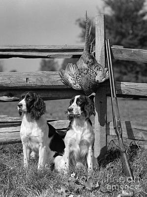 Pheasant Photograph - Spaniels With Pheasant, C.1940s by H. Armstrong Roberts/ClassicStock