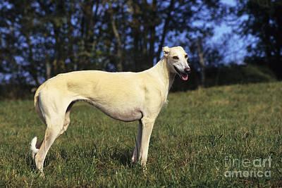 Greyhound Photograph - Spanish Galgo by Jean-Louis Klein & Marie-Luce Hubert