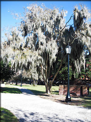 Spanish Moss  Print by Brittany H