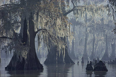 Cypress Swamp Photograph - Spanish Moss Drapes Old Cypress Trees by John Eastcott And Yva Momatiuk