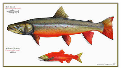 Watercolor Pencil Painting - Spawning Bull Trout And Kokanee Salmon by Nick Laferriere