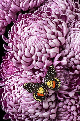Speckled Butterfly On Red Mum Print by Garry Gay