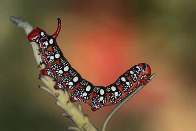 Caterpillar Photograph - Sphinx by Jimmy Hoffman