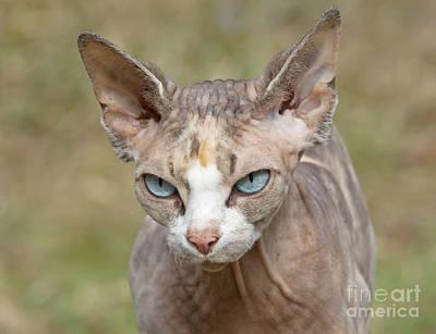 Sphynx Cat Print by Allan Wallberg