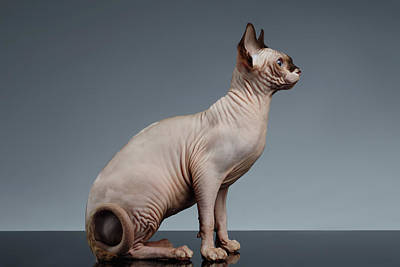 Hairless Cat Photograph - Sphynx Cat Sits And Looking Forward On Black  by Sergey Taran