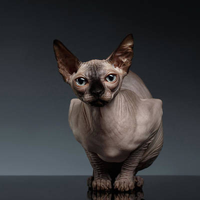 Hairless Cat Photograph - Sphynx Cat Sits In Front View On Black  by Sergey Taran
