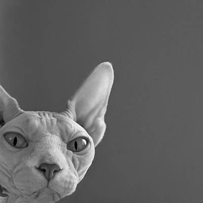 Sphynx In Black And White Print by Glennis Siverson