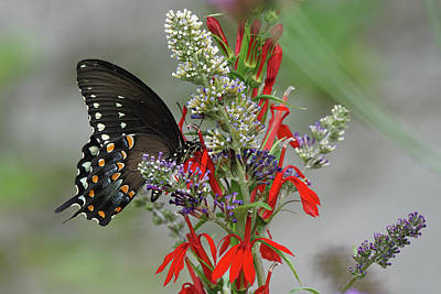 Photograph - Spicebush Swallowtail And Flowers by Robert E Alter Reflections of Infinity