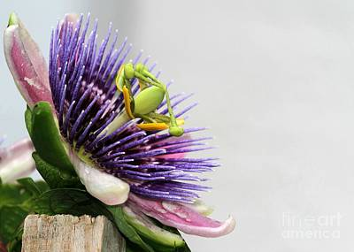Spikey Passion Flower Print by Sabrina L Ryan