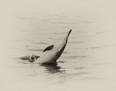 Spinner Dolphin Print by Michael Peychich