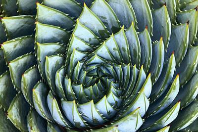 Spiral Aloe Print by Saxon Holt
