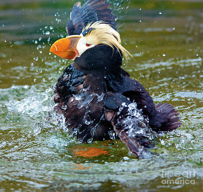 Puffins Photograph - Splish Splash by Mike Dawson