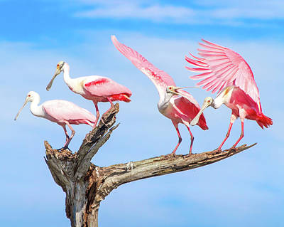 Spoonbill Photograph - Spoonbill Party by Mark Andrew Thomas
